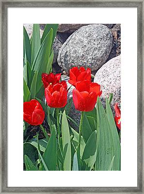 Red Tulips On The Rocks Framed Print