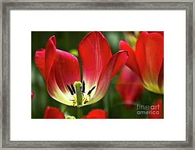 Red Tulips Petals Framed Print by Heiko Koehrer-Wagner