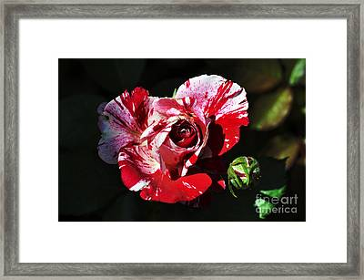 Red Verigated Rose Framed Print