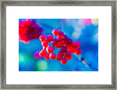 Framed Print featuring the photograph Red Viburnum Berries by Alexander Senin