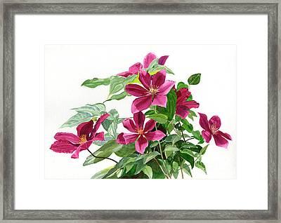 Red Violet Clematis Framed Print