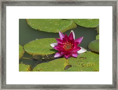 Red Water Lily Framed Print by Linda Geiger