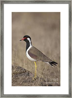 Red-wattled Lapwing Framed Print