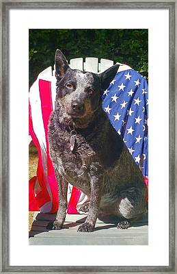 Red White And Blue Heeler Framed Print by Liz Snyder