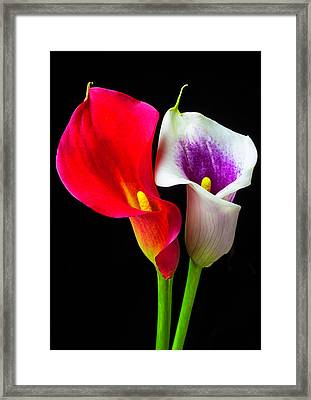 Red White And Purple Calla Lilies Framed Print