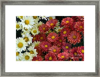 Red White And Yellow Fall Flowers Framed Print by Amy Lucid
