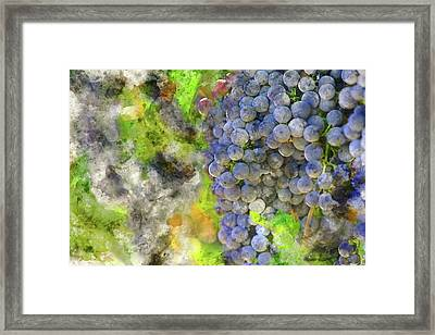 Red Wine Grapes On The Vine In Napa Framed Print