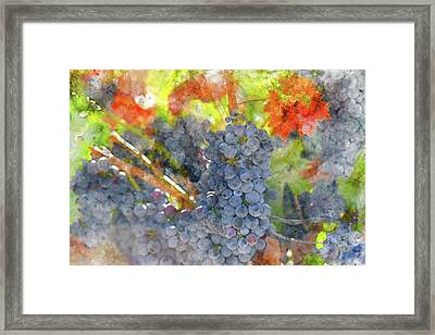 Red Wine Grapes On The Vine In The Fall Framed Print