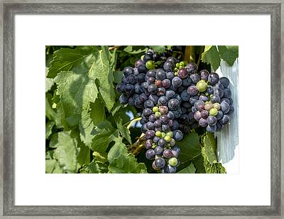 Red Wine Grapes On The Vine Framed Print by Teri Virbickis