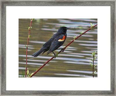 Red Wing Black Bird Framed Print by Debra     Vatalaro