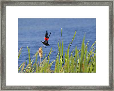 Red Wing Bow Framed Print
