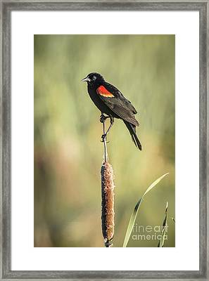 Red-wing On Cattail Framed Print by Robert Frederick