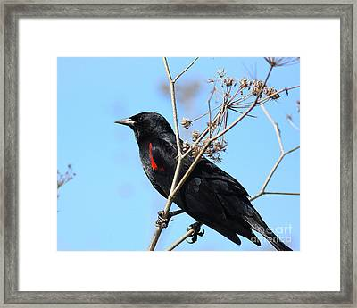 Red-winged Blackbird . 40d5718 Framed Print by Wingsdomain Art and Photography