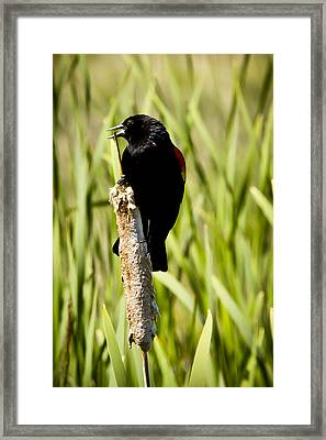 Red-winged Blackbird Framed Print