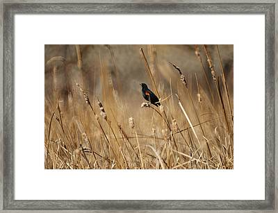 Red Winged Blackbird Framed Print by Ernie Echols