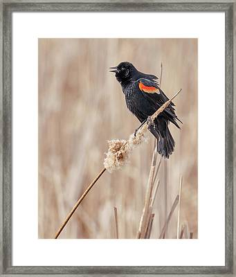 Male Red-winged Blackbird In A Minnesota Marsh Framed Print by Jim Hughes
