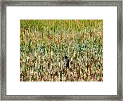 Red-winged Blackbird Framed Print by Lynda Dawson-Youngclaus