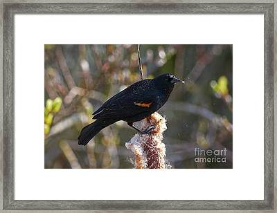 Framed Print featuring the photograph Red-winged Blackbird On Cattail Reed by Sharon Talson