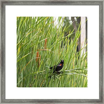 Red-winged Blackbird Pa 2014 Framed Print
