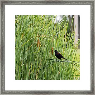 Red-winged Blackbird Pa 2014 Nr 2 Framed Print