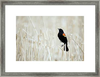 Red-winged Blackbird Perched Framed Print by Philippe Henry