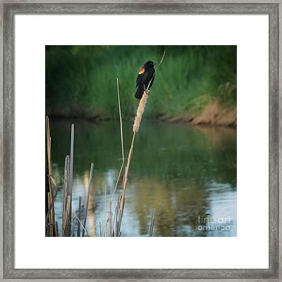 Red Winged Blackbird  Framed Print by Robert Bales