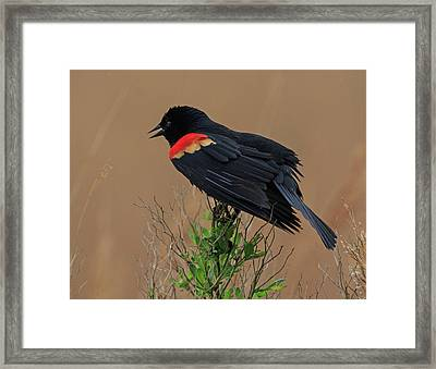 Framed Print featuring the photograph Red Winged Blackbird by Robert Pilkington