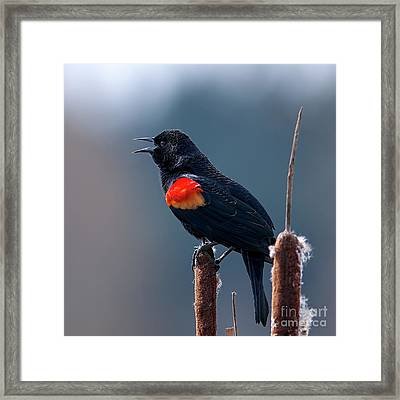 Red-winged Blackbird Singing Framed Print