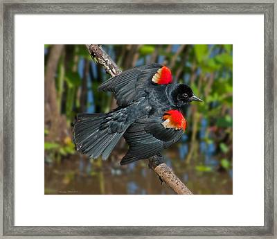 Red-winged Blackbird Framed Print by Suzanne Stout