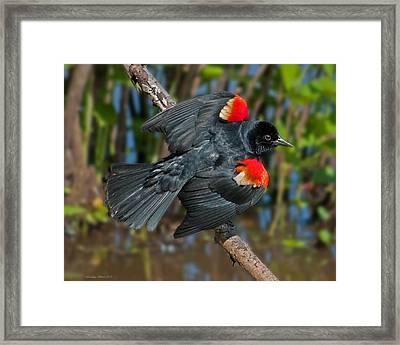 Red-winged Blackbird Framed Print