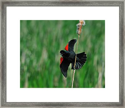 Red-winged Blackbird Framed Print by Tony Beck