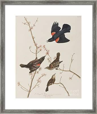 Red Winged Starling Or Marsh Blackbird Framed Print by John James Audubon