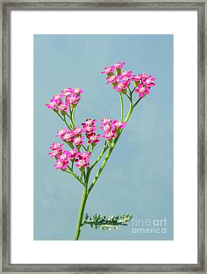 Red Yarrow Framed Print