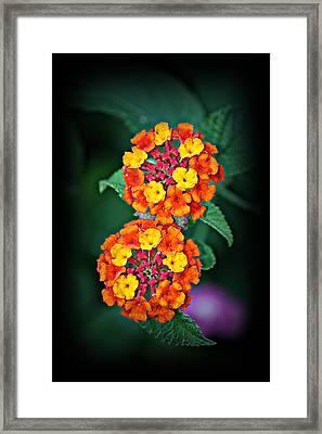 Red Yellow And Orange Lantana Framed Print