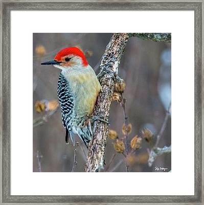 Redbellied Woodpecker Framed Print