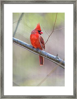 Redbird Or Northern Cardinal Framed Print by Mother Nature