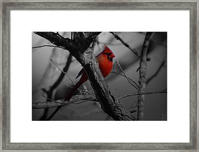 Redbird Framed Print by Shawn Wood