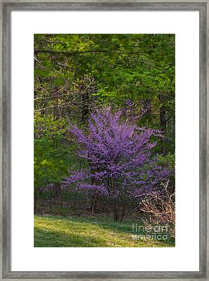 Redbud At Home Framed Print by Lowell Anderson