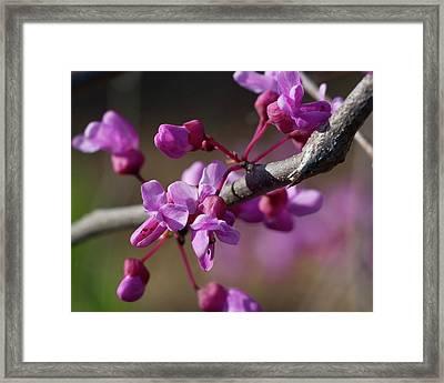 Redbud Blossoms Framed Print by Alan Raasch