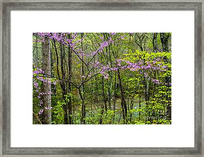 Redbud In The Rain Framed Print by Thomas R Fletcher