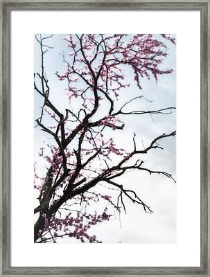 Redbud Meditation Framed Print by Fred Lassmann