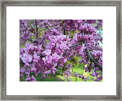 Redbud Purple Pansy Framed Print by Sandy Collier