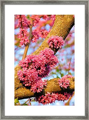Redbud Trunk Blooms Framed Print by Jan Amiss Photography