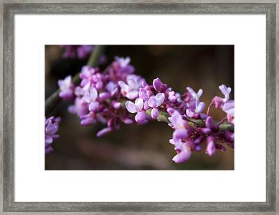 Framed Print featuring the photograph Redbuds In March by Jeff Severson