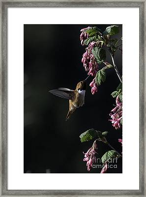 Redcurrant Rufous Framed Print