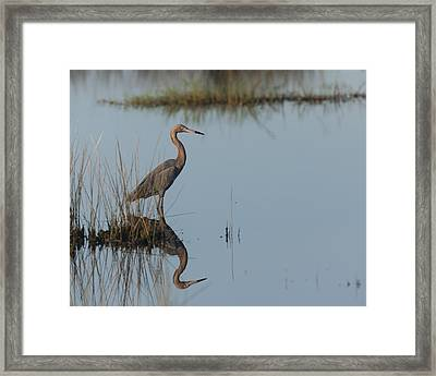 Reddish Egret And Reflection In The Morning Light Framed Print