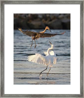 Reddish Egret Confrontation Framed Print by Dawn Currie