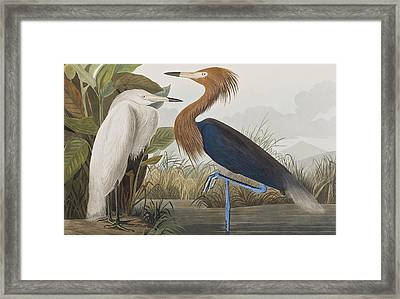 Reddish Egret Framed Print by John James Audubon
