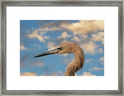Framed Print featuring the photograph Reddish Egret by Kim Hojnacki