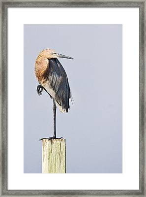Framed Print featuring the photograph Reddish Egret On Piling by Bob Decker
